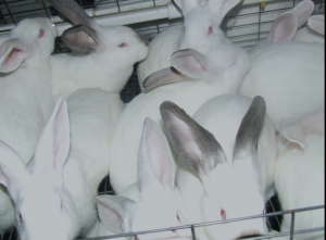 Image courtesy Freedom for Farmed Rabbits